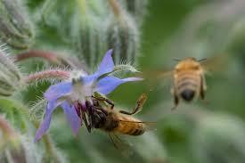 blue-borage-flower