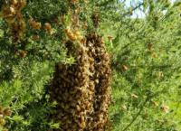 gallery-hislops-bees