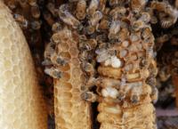 gallery-hislops-focus-bees