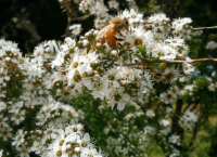 gallery-hislops-manuka-honey