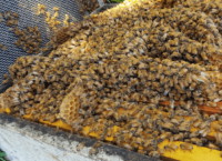 gallery-hislops-production-honey-bees